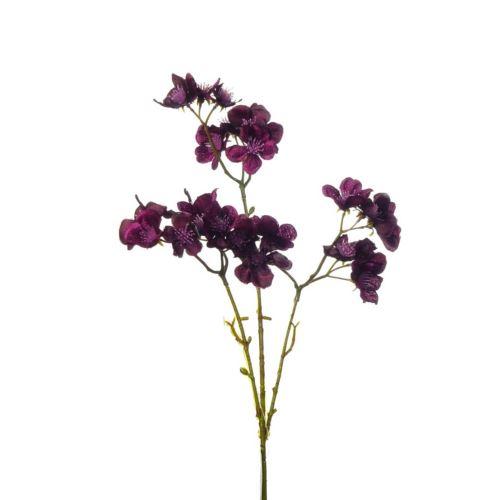 Dereń kwitnący purple 50cm