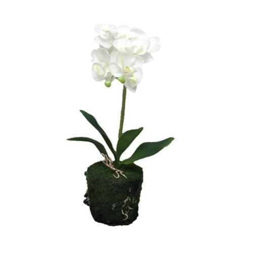 Phaleanopsis cream in pot 30cm