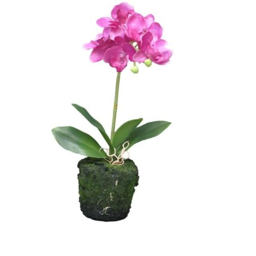Phaleanopsis fuchsia in pot 30cm