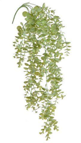 Eukaliptus zwisający
