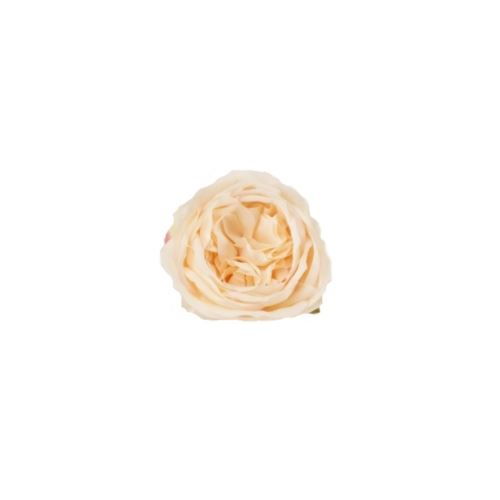 RÓŻA ANGIELSKA HEAD10 CM /0107 PEACH CREAM