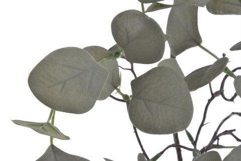 Eukaliptus populus 70cm