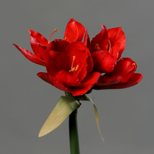 Amaryllis with 3 flowers 30 cm red