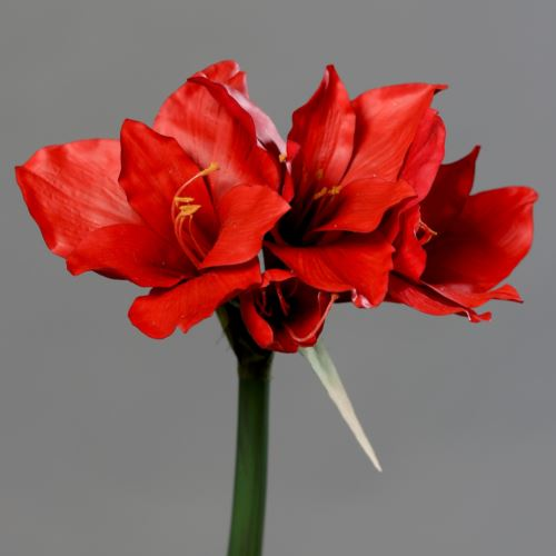 Amaryllis with 3 flowers 56 cm red