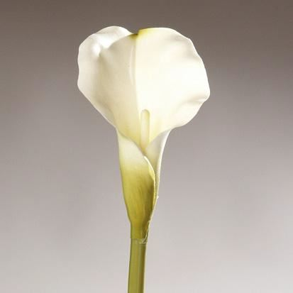 calla, large,  12/96 cream