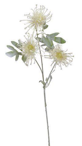 Leucospermum x3 POWDER -sztucz.rosl.