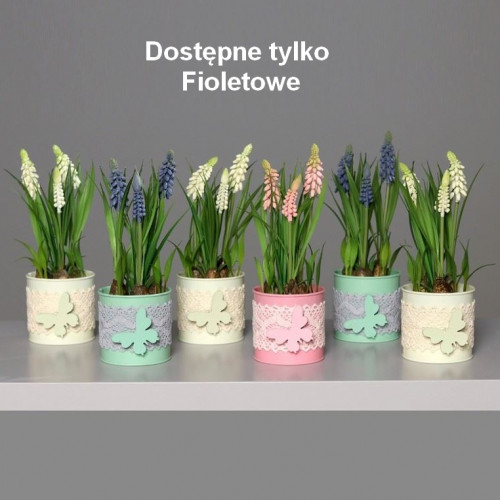 Wiosenne szafirki w kolorowych doniczkach 21 cm