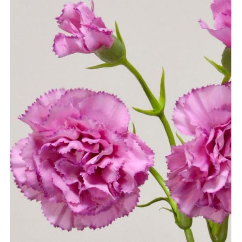 Goździk gałązka x5 62cm SUN405 sweet pk edge pink