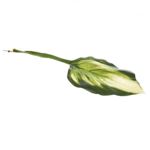 Hosta - liść 50 cm green lt yellow