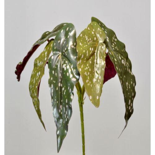 Begonia Maculata na piku 26cm 3CLG92