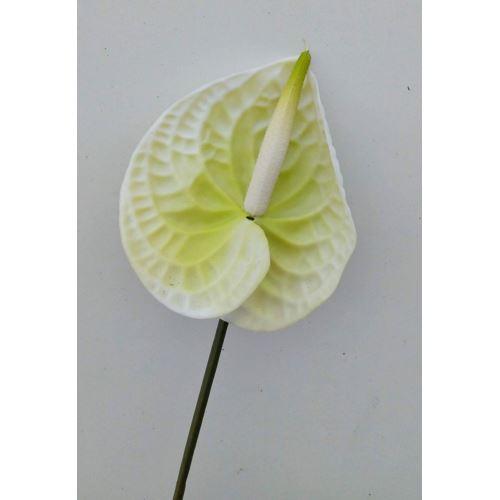ANTURIUM GUMA 70cm CV11471 green cream