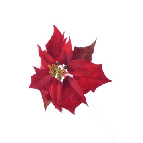 Poinsettia velvet head ./1397 dk red