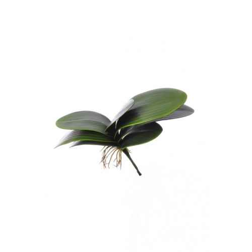 (Best) Small Phalaenopsis leaves x7 29cm
