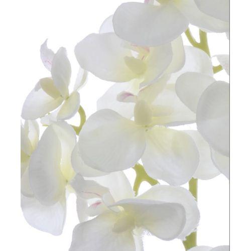 Storczyk drobny 58cm sun396 cream