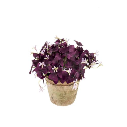 Oxalis Szczawik 24cm purple/pink in tc pot aged round