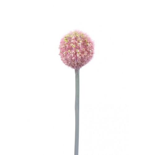 Allium Arles pink small 48cm
