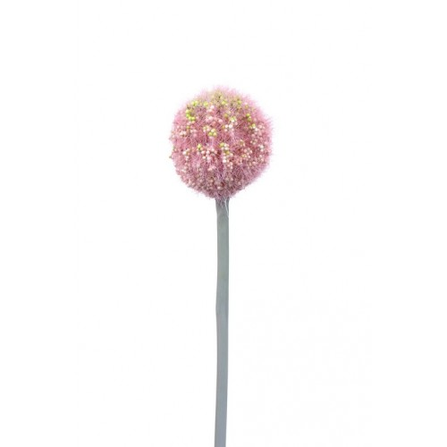 Allium Arles pink small 48cm
