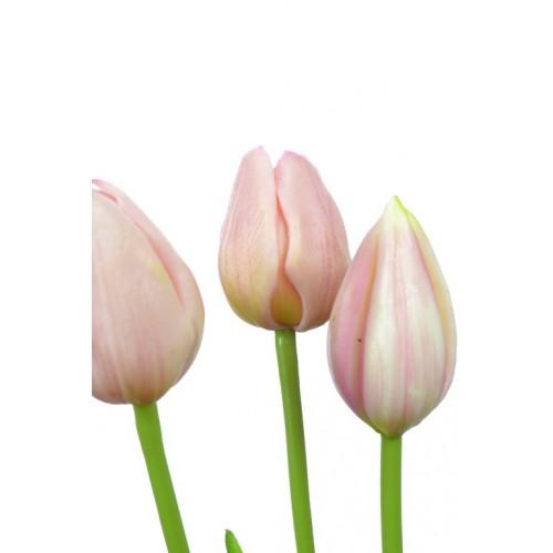 Tulip Sally bud  3some pink