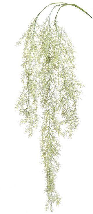 Asparagus zwisajcy 104cm