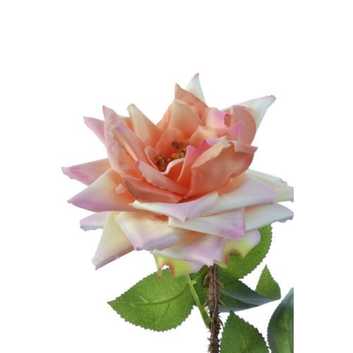 Róża single hort rose 72cm sun552 apricot