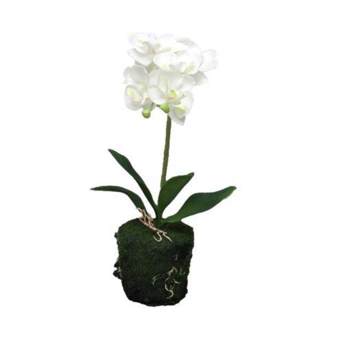 Phaleanopsis cream in pot 30cm