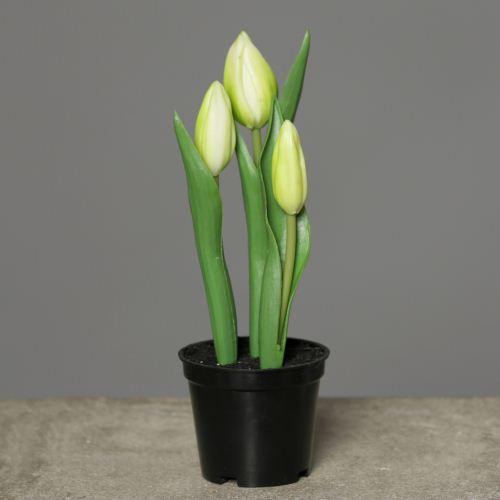Tulips in Pot 18 cm cream-green