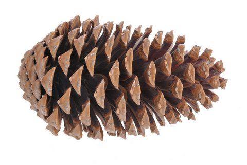 Pinus Maritima MIXED (75) z-2